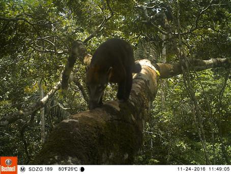 En los árboles no solo hay monos – Estudio de mamíferos arbóreos en Cocha Cashu