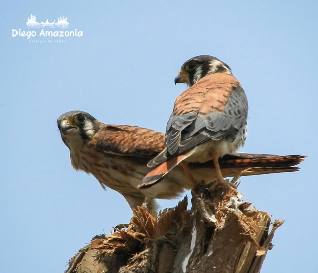 Pareja de cernícalos americanos (Falco sparverius) – Foto: Diego Balbuena