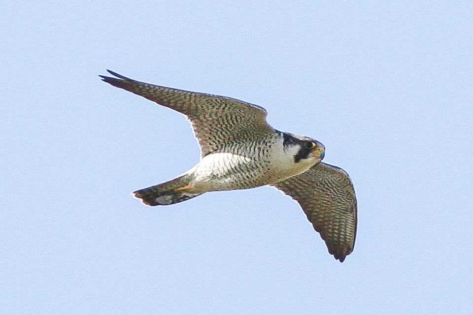 Halcón peregrino (Falco peregrinus) – Foto: Ron Knight