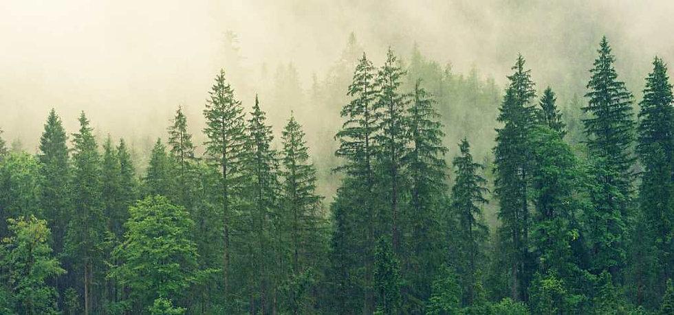 evergreen treess.jpg