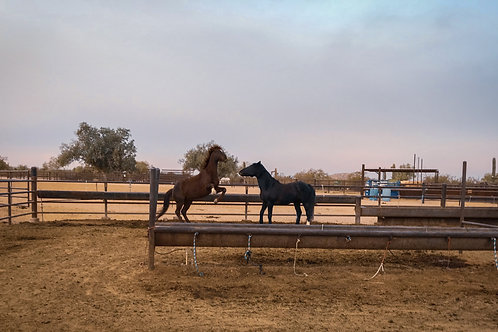 Horse Play- Limited Edition PhotographicGiclée Print