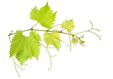 ramo-delle-foglie-di-vite-isolato-su-bia