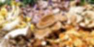 cogumelos-medicinais.jpg