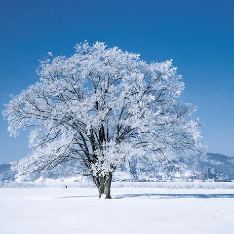 02冬はるにれ(昼).jpg