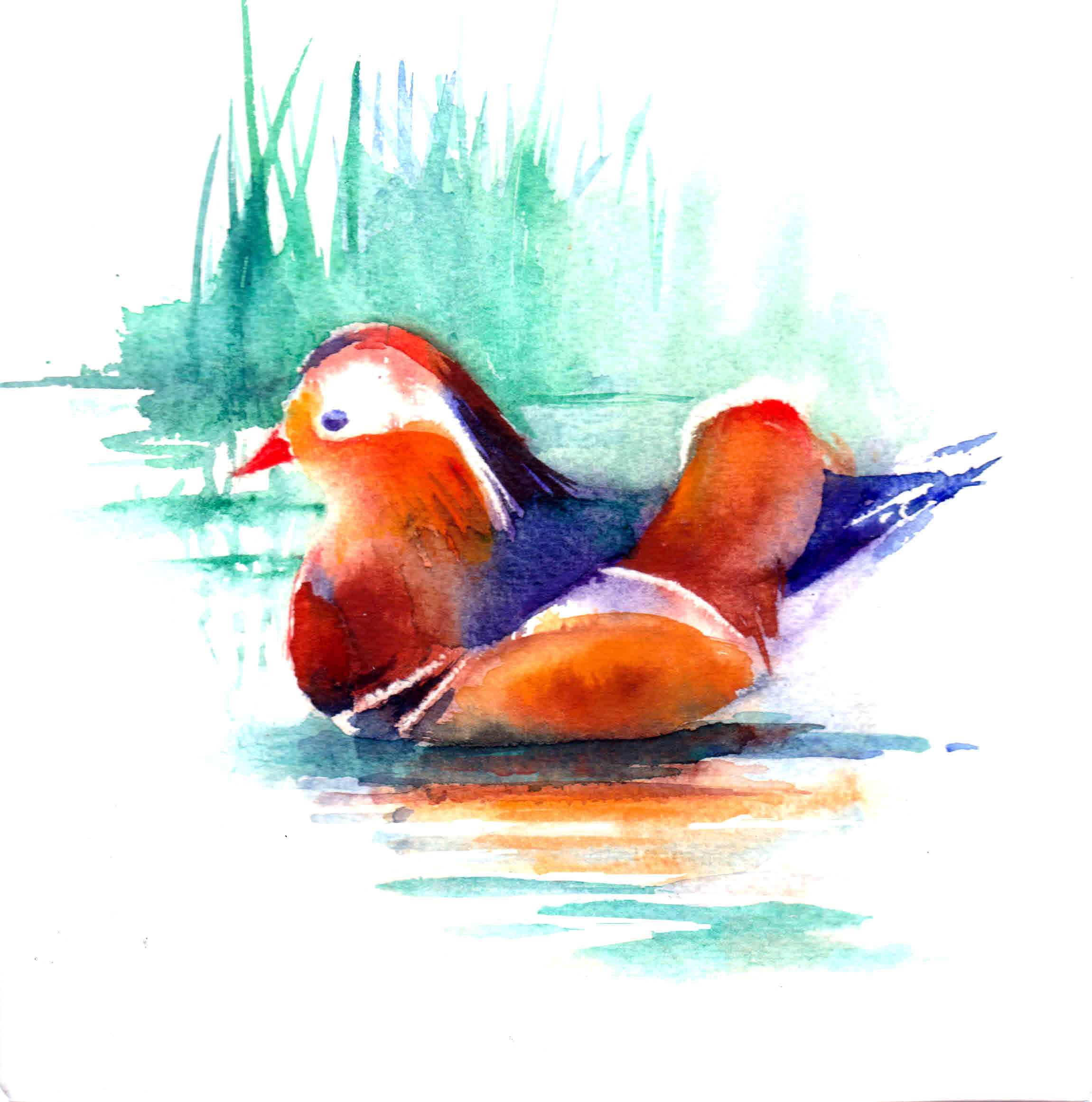IS - 05 Mandarin Duck