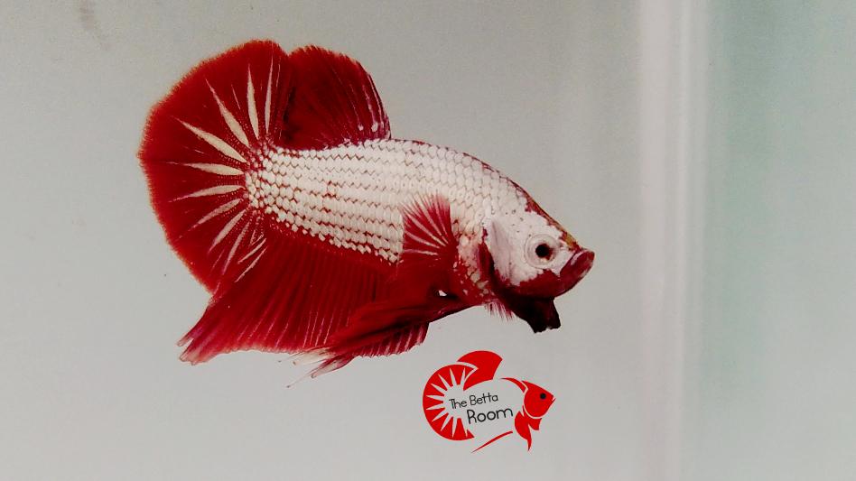 Red Dragon HMPK