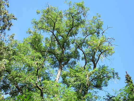 robinia-pseudoacacia-844430_1280.jpg