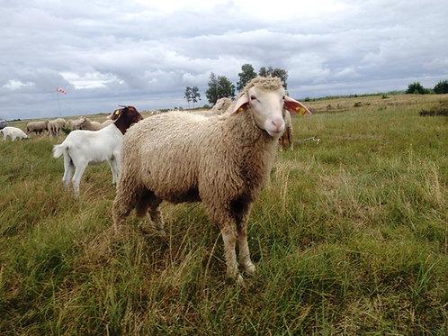 Vokietijos mėsinis merinosas (avis)