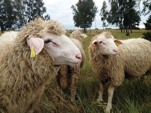 Vokietijos mėsinis merinosas (avinas)