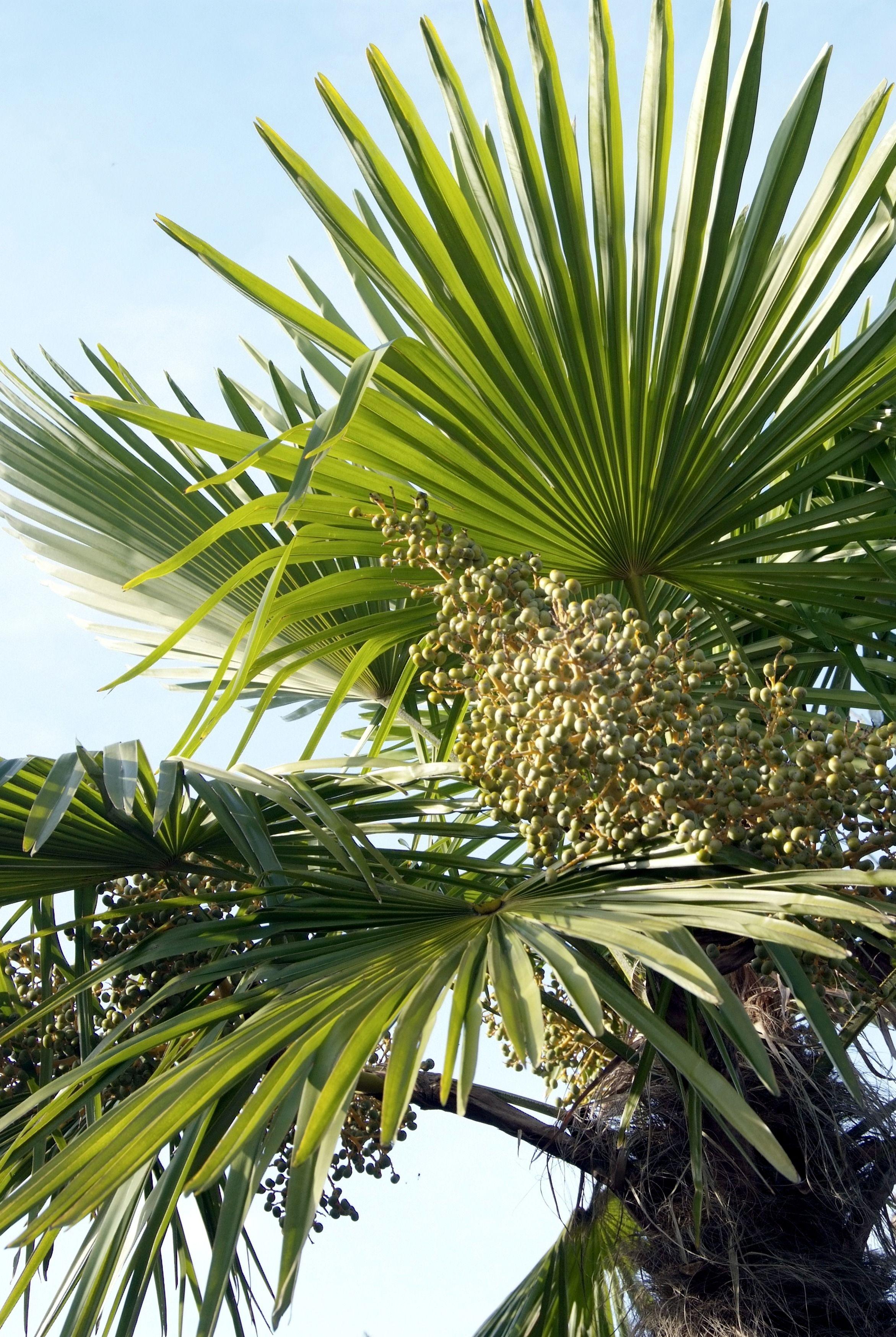 trachycarpus_fortunei_winterharde_palm_c