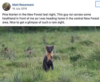 Pine_Marten(Matt_Roseveare)18-07-19.jpg