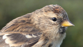 Getting to grips with breeding Lesser Redpoll in the New Forest