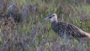 Wild New Forest supporting England's Curlew Recovery Partnership