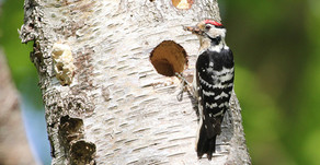 New Forest Lesser Spotted Woodpecker survey