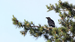 New Forest Raven survey: 2021 call for sightings