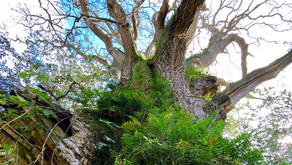Life and death of ancient Oaks