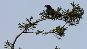 New Forest Raven survey: early April update