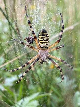 Wasp_Spider(30-07-20).jpg
