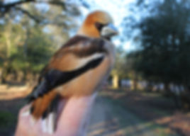 Hawfinch(MW)c-r.JPG
