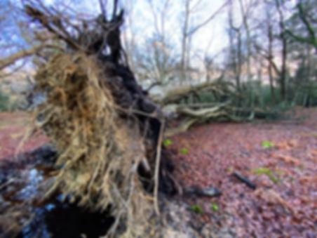 Storm-blown_Beech_Mallard_Wood(15-01-20)