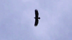 White-tailed Eagle in the New Forest - not from the Isle of Wight!