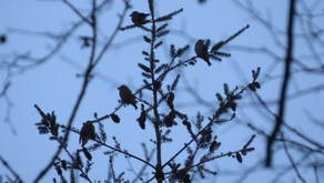 New Hawfinch roost!