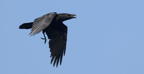 New Forest Raven Survey: mid-May update