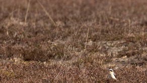 First Wheatear and other spring delights