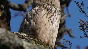 Young New Forest Peregrine sees off escaped Eagle Owl!