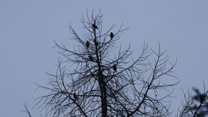 January Hawfinch roost counts