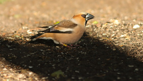 Hawfinch tracking 2021 - that's a wrap!