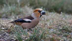 WNF Hawfinch survey - call for volunteers