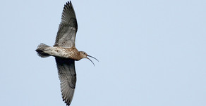New Forest Breeding Waders - appeal for sightings