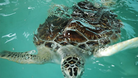 Cherating Turtle.jpg