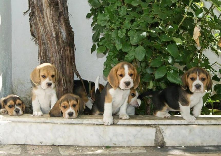 Cachorros Beagles Del Imperio Canino