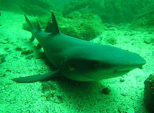 white tips reef shark.JPG