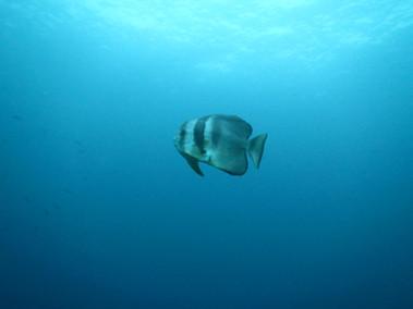 longfine batfish