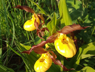 The yellow Lady Slippers have appeared in our front bush.