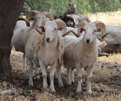 Wiltshire Horn Sheep