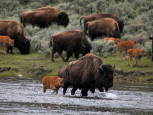 Tribes Ask Biden to Re-Introduce Bison