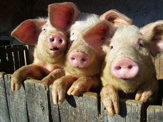 Свинина в полутушах: в шутку и всерьёз