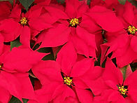 poinsettias_195942.jpg