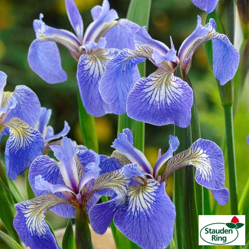 1225-iris_baby_blue_01