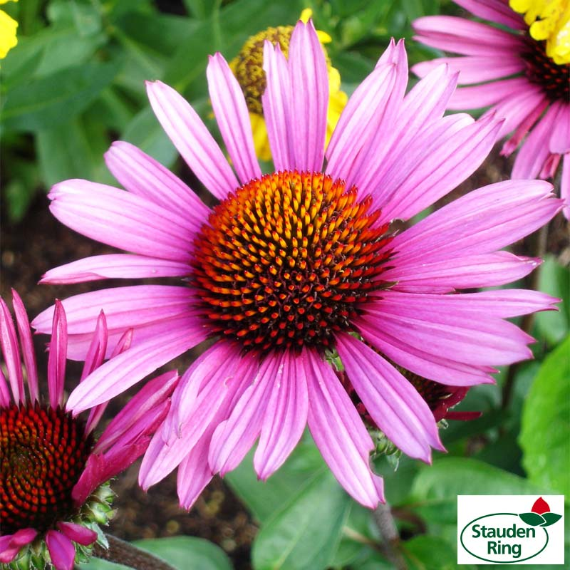1225-echinacea_fatal-attraction