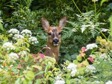 7-roe deer.jpg