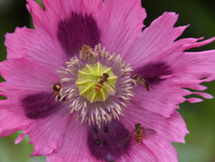 6-Hoverflies on poppy.jpg