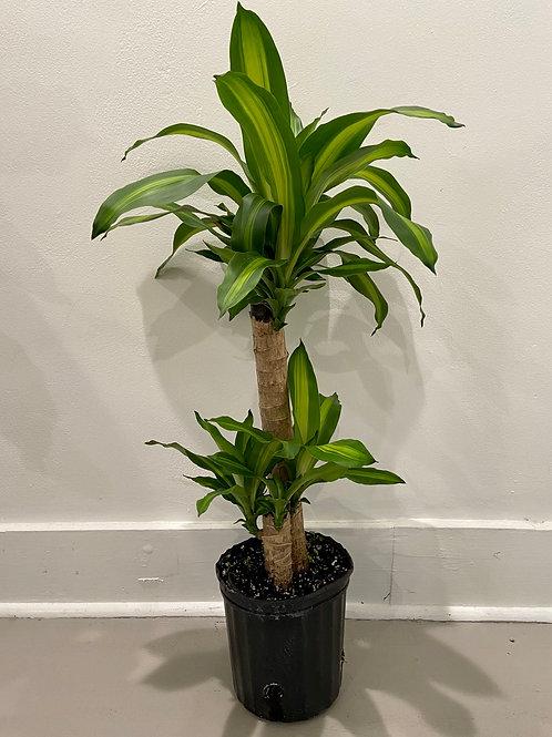"Dracaena Mass Palm 3.25' tall, 8"" pot"