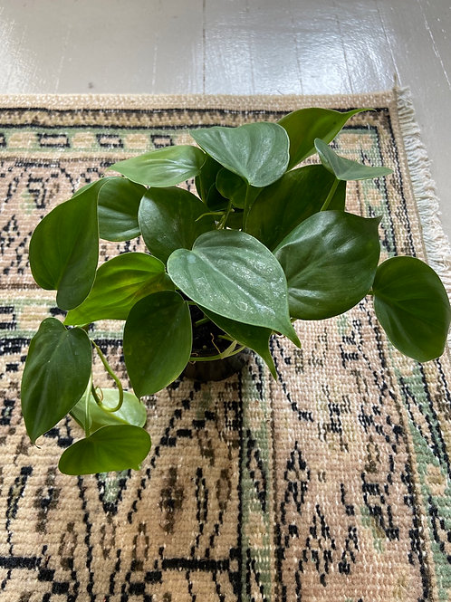 """Philodendron 4"""""""