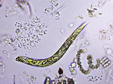 Euglena.png