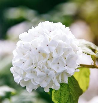 A%25252520Viburnum%25252520opulus%2525252C%25252520also%25252520known%25252520as%25252520guelder%252